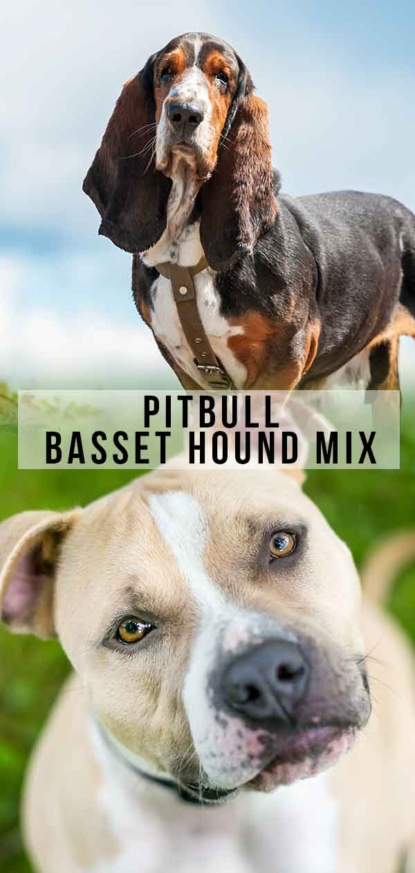 Pitbull Basset Hound Mix - What To Expect From This Unusual Mix