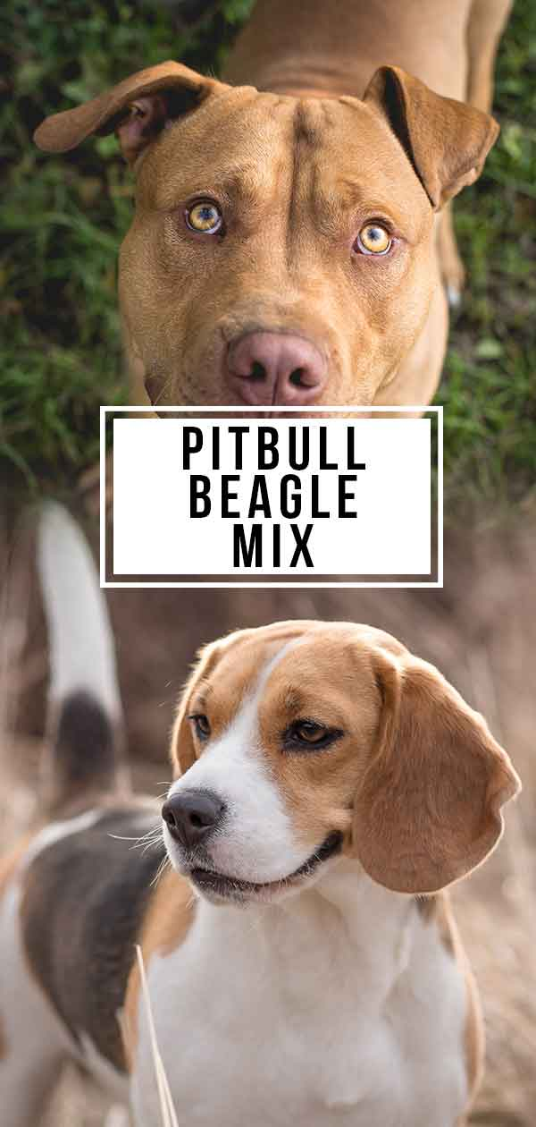 pitbull beagle mix