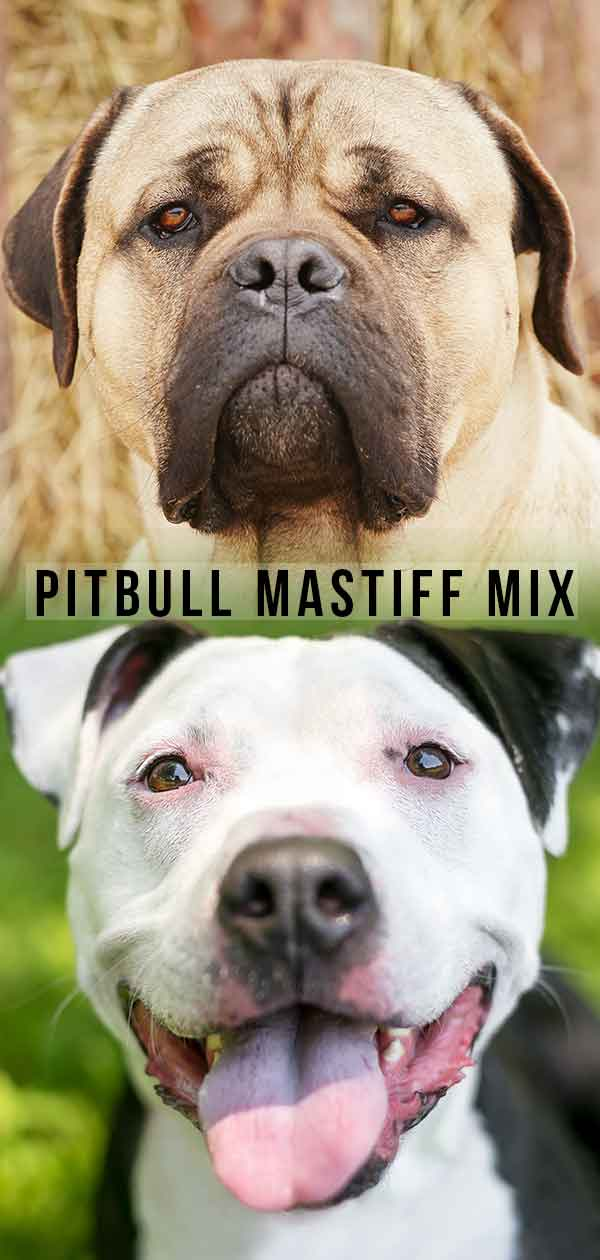 pitbull mastiff mix