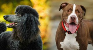 Pitbull Poodle Mix: Could You Find Room in Your Life for This Special Hybrid?