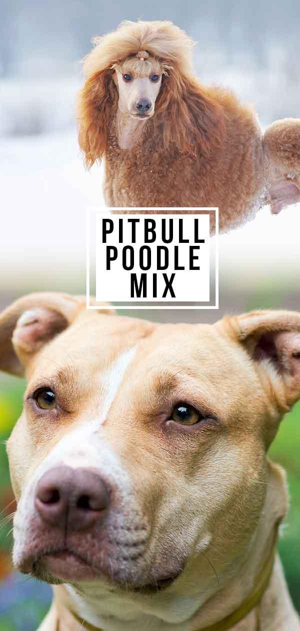 Pitbull Poodle Mix
