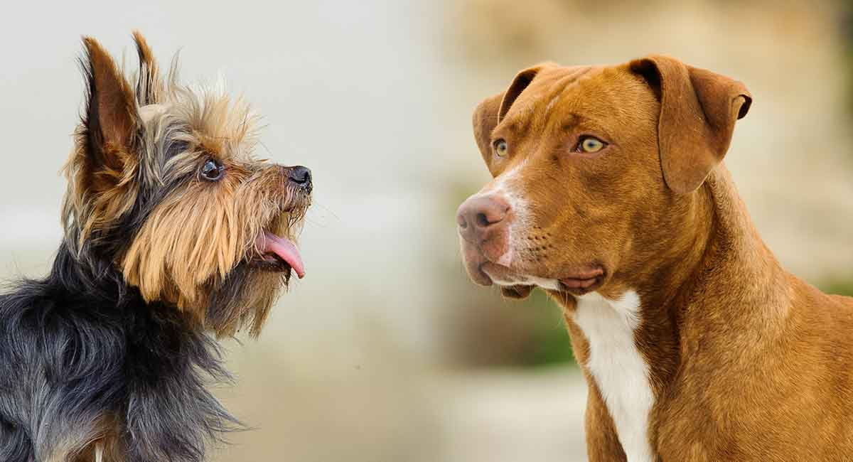 Your Pitbull Yorkie Mix Is this Hybrid Dog Right for You?