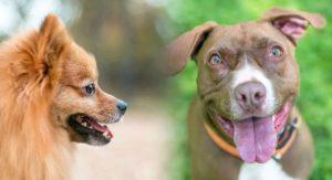 Pomeranian Pitbull Mix – Loving Lapdog Or Lively Companion?