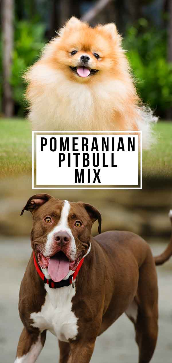 pomeranian pitbull mix pomeranian pitbull mix loving lapdog or lively companion 9758