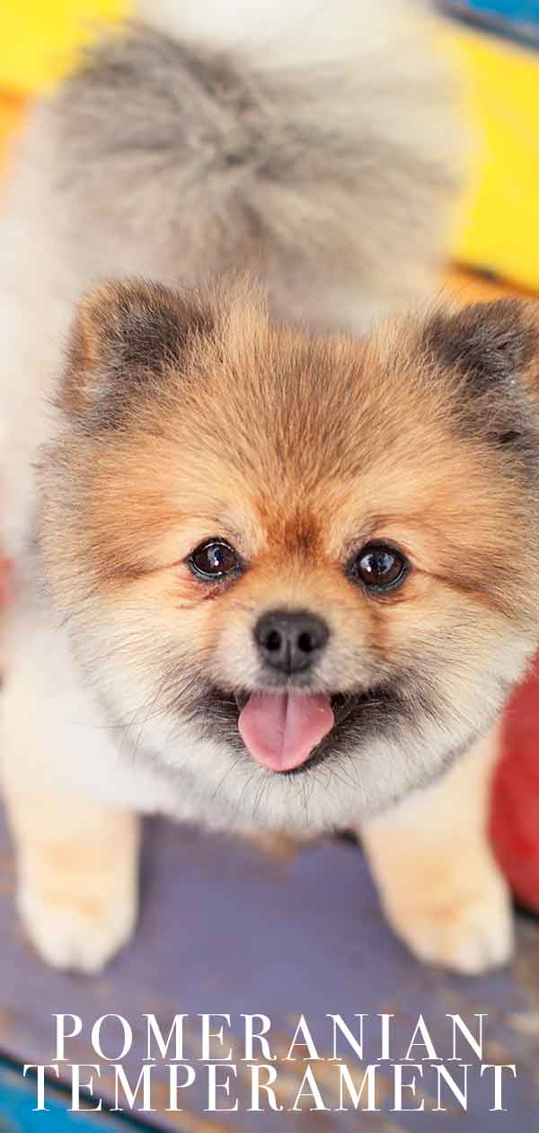 pomeranian temperament