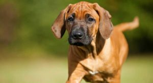 Rhodesian Ridgeback Temperament – Do You Know The Habits Of This Loyal Breed?