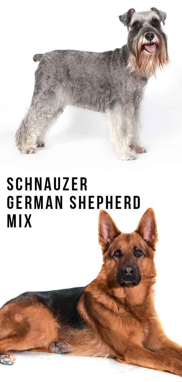 schnauzer german shepherd mix