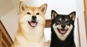 Shiba Inu Colors – How Many Variations Are There?