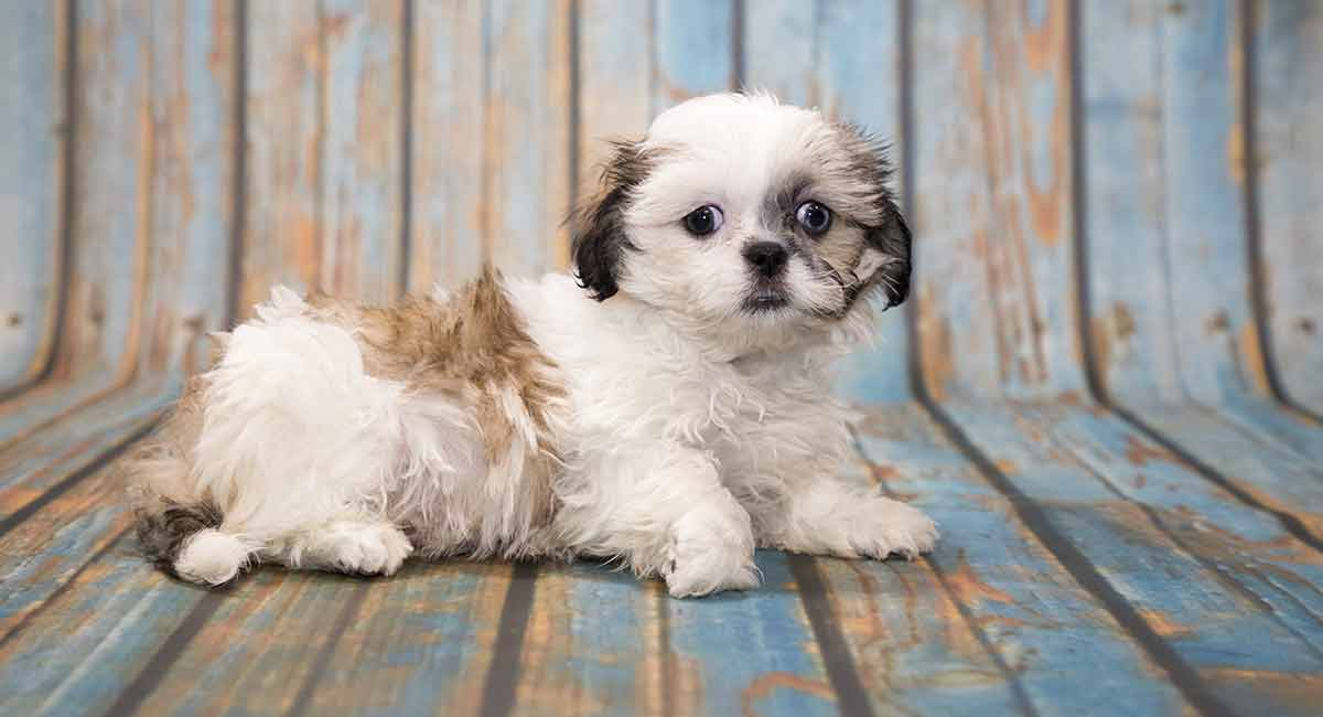 Shih Tzu Temperament How Does This
