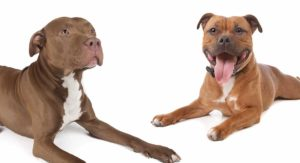 Staffordshire Bull Terrier  Vs Pitbull – Which Is Best?