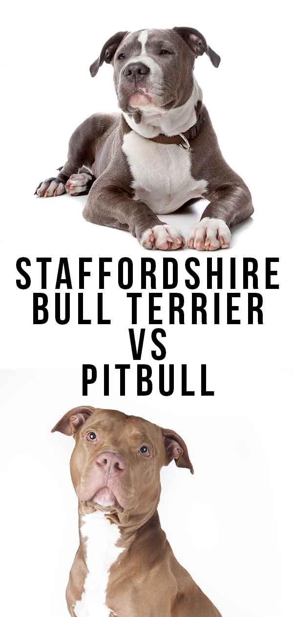 Staffordshire Bull Terrier Vs Pitbull