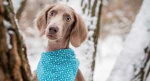 Weimaraner Temperament: Find Out More About Your New Pup
