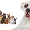 American Bulldog Mixes