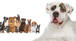 American Bulldog Mixes – Which One Is Right For You?