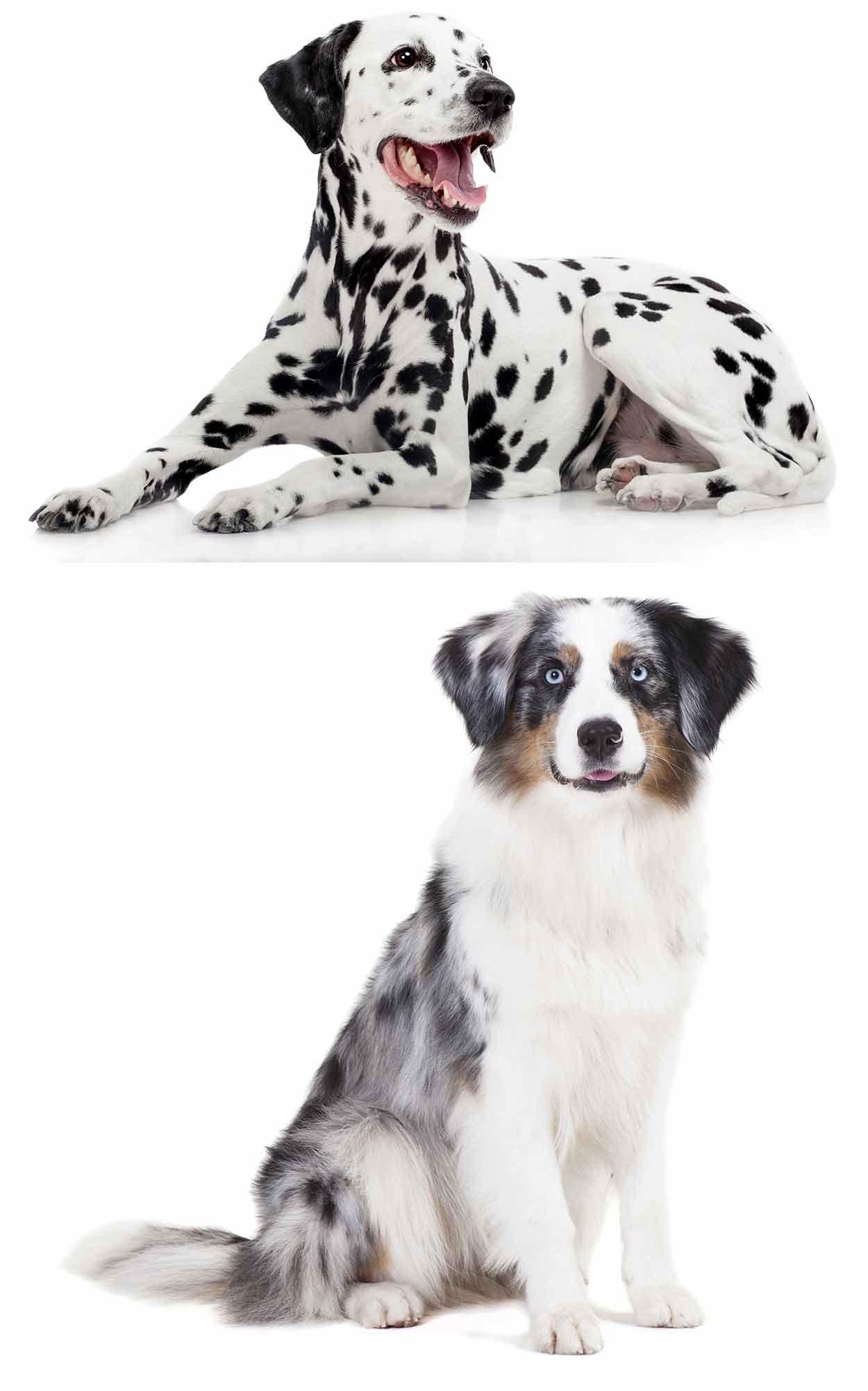 Australian Shepherd Dalmatian Mix Is