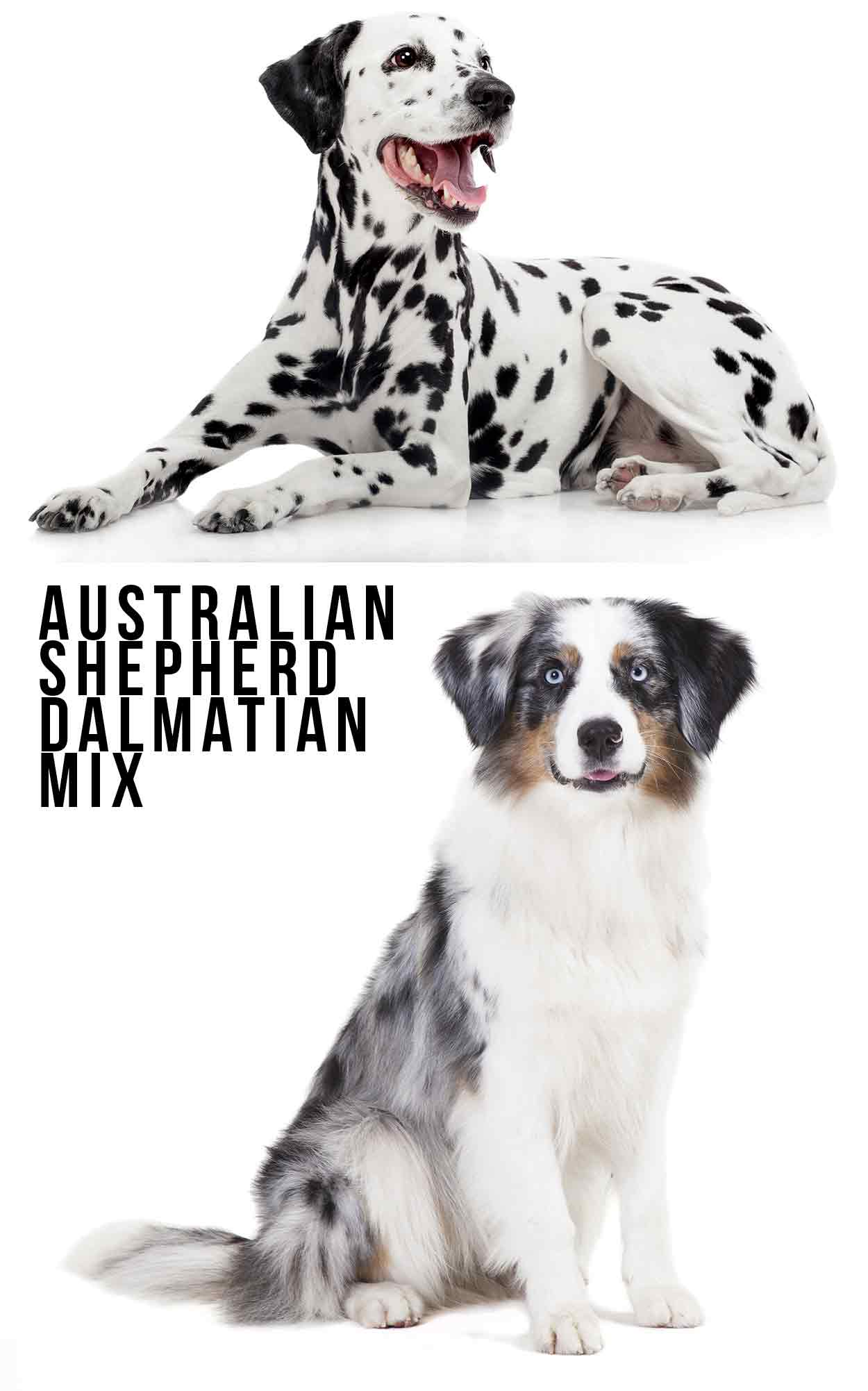 Australian Shepherd Dalmatian Mix - Is This Your Dream Dog?