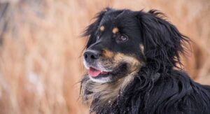 bernese mountain dog mixes