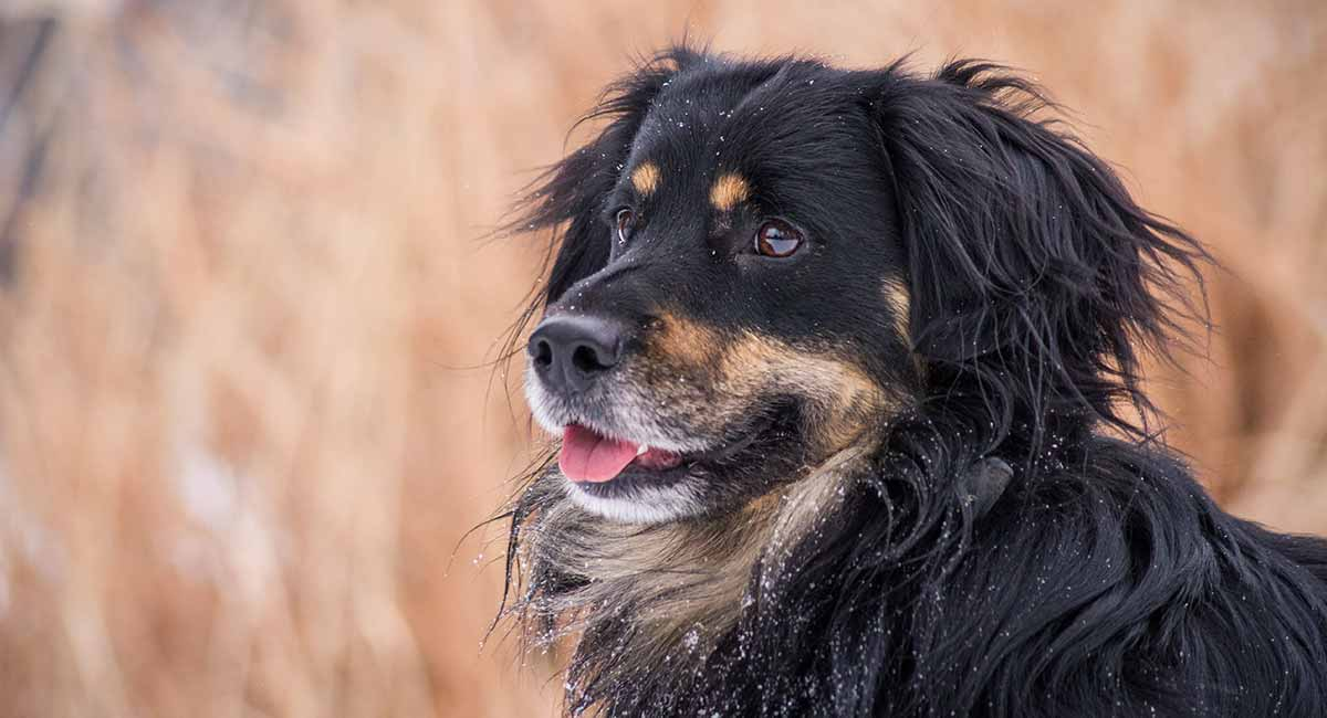 Bernese Mountain Dog Mix Breed Dogs Big Mixes With Big