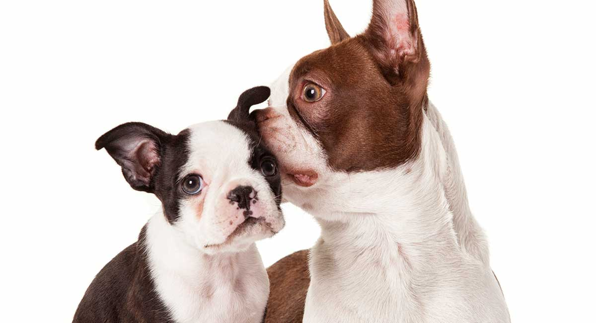 boston terrier colors