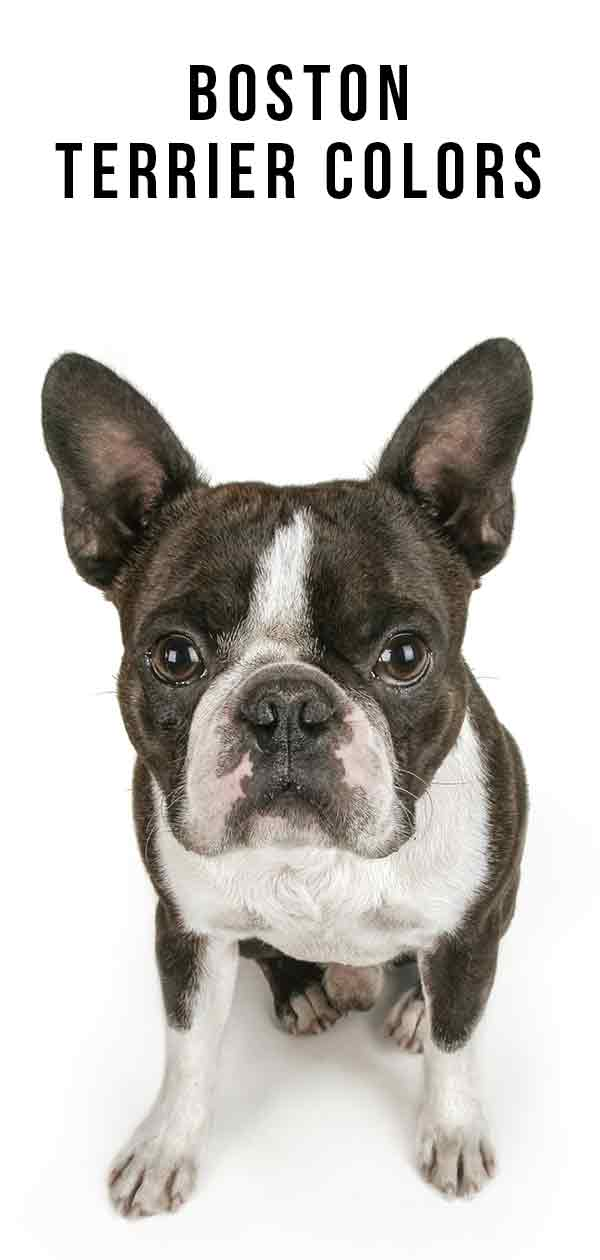 Boston Terrier Colors - Discover More About The Unique