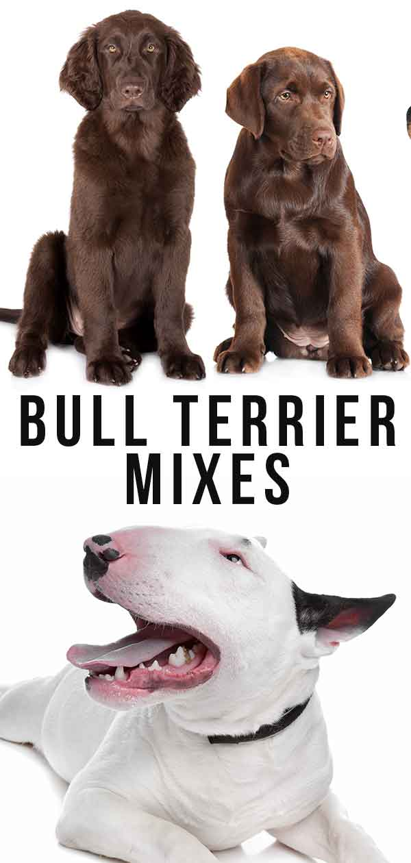bull terrier mixes