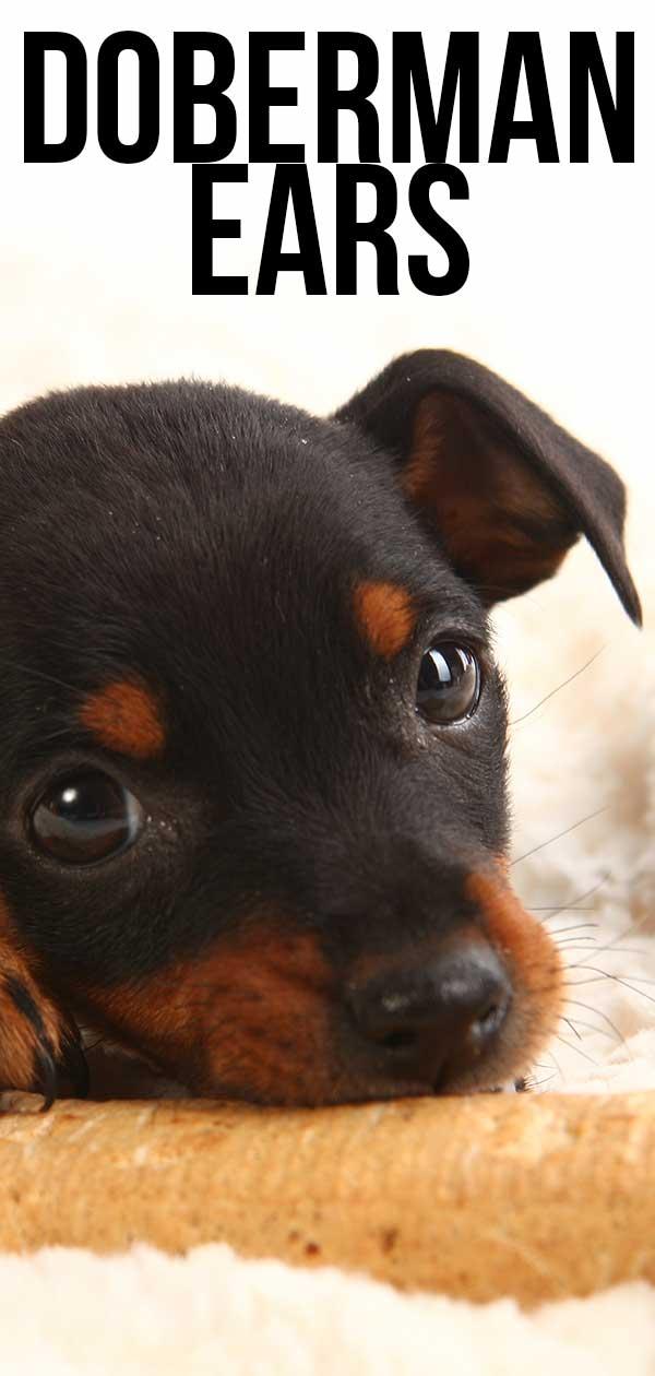 doberman ears