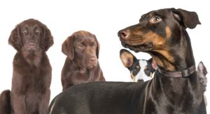 Doberman Mixes – Which One Will Appeal to You?