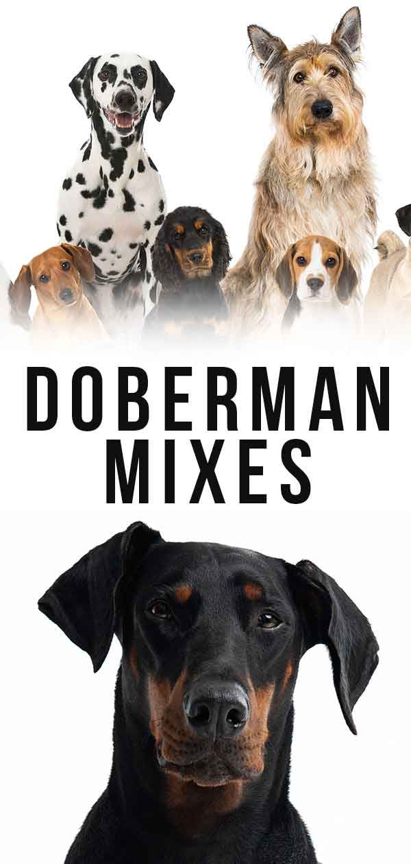 doberman mixes