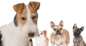 Fox Terrier Mixes – Which Cross Will Be Your New Best Friend?