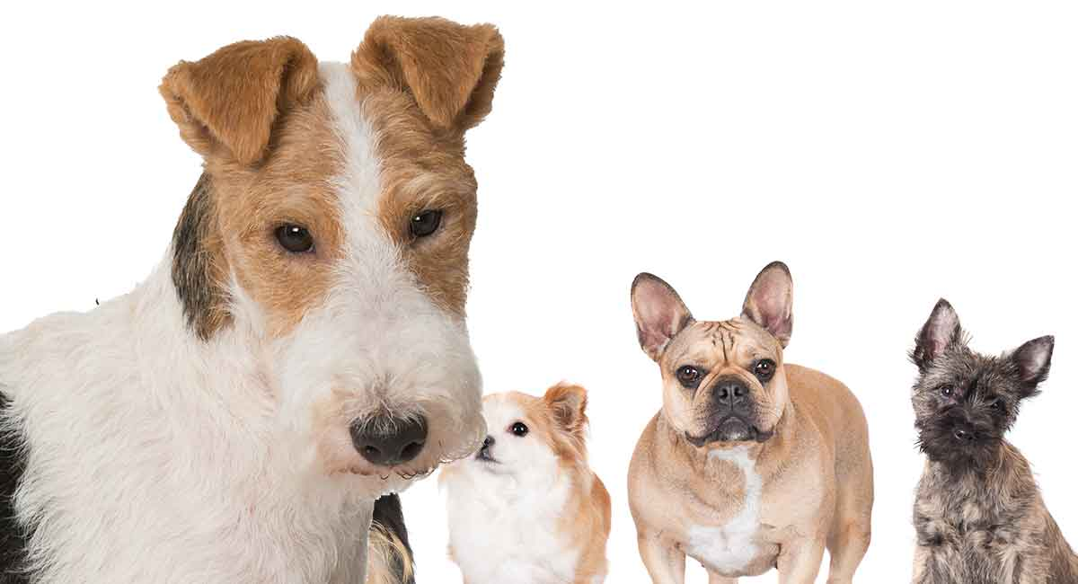 Fox Terrier Mixes , Which Cross Will Be Your New Best Friend?