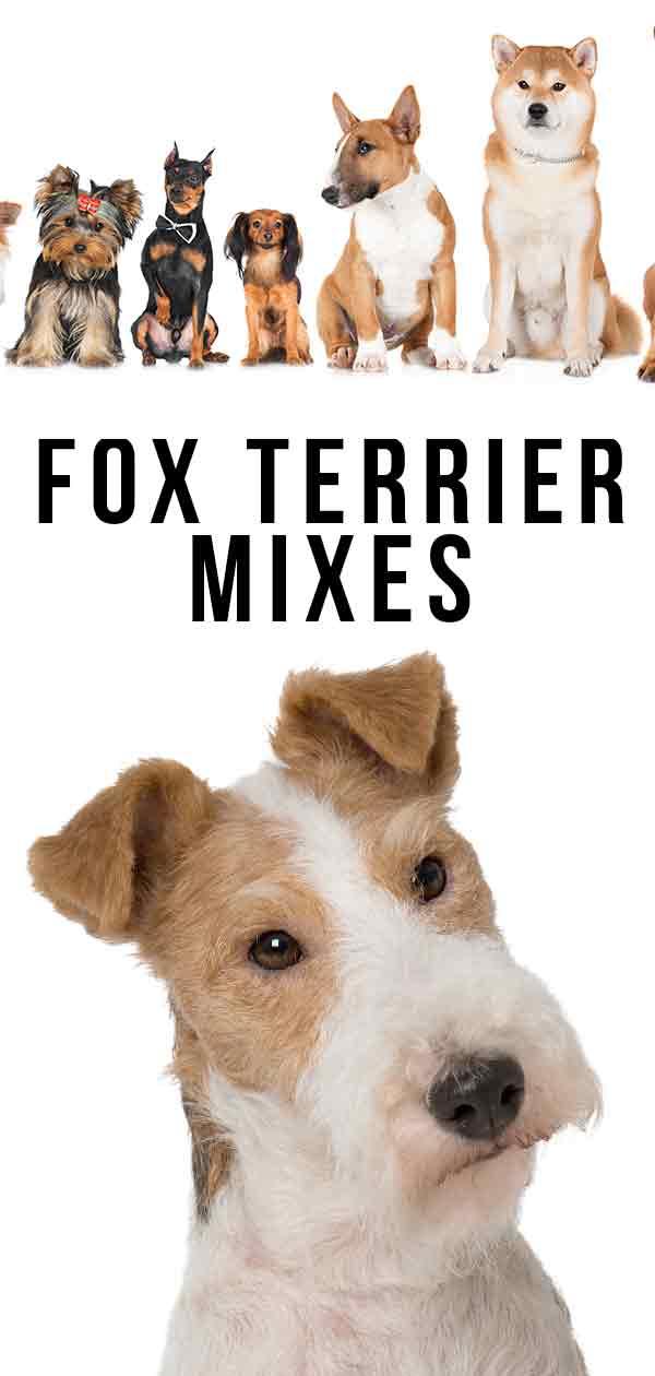 Fox Terrier Mixes