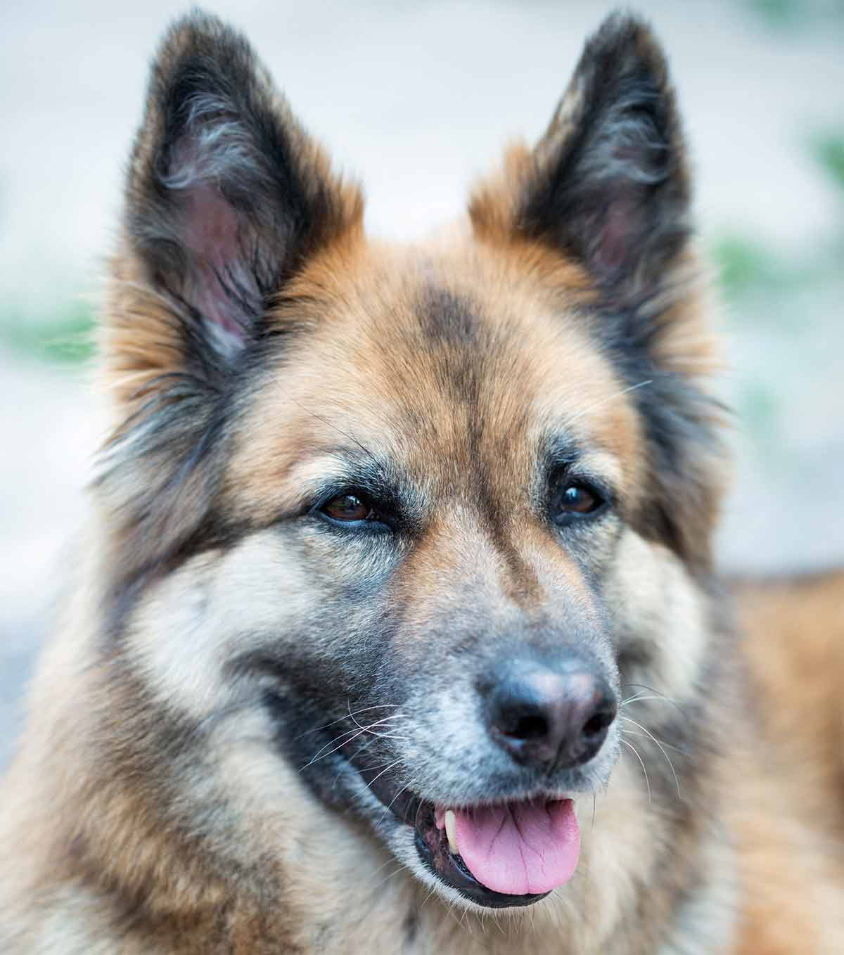 German Shepherd Husky Mix Your Complete Guide