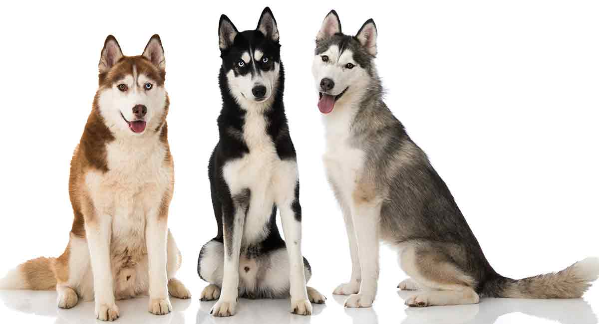 Husky Colors Patterns And The Meanings