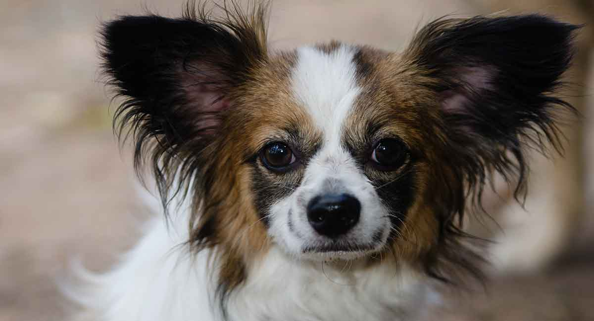 Papillon Mix Rescue Goldenacresdogs