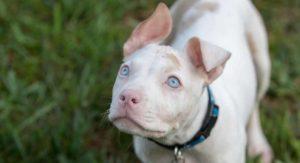 pitbull ears