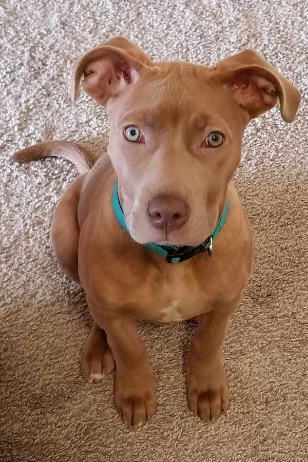 Red Nose Pitbull Pros Cons And Your