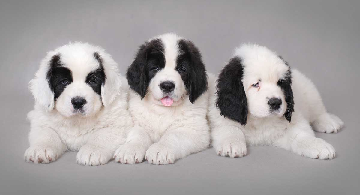 white newfoundland dog