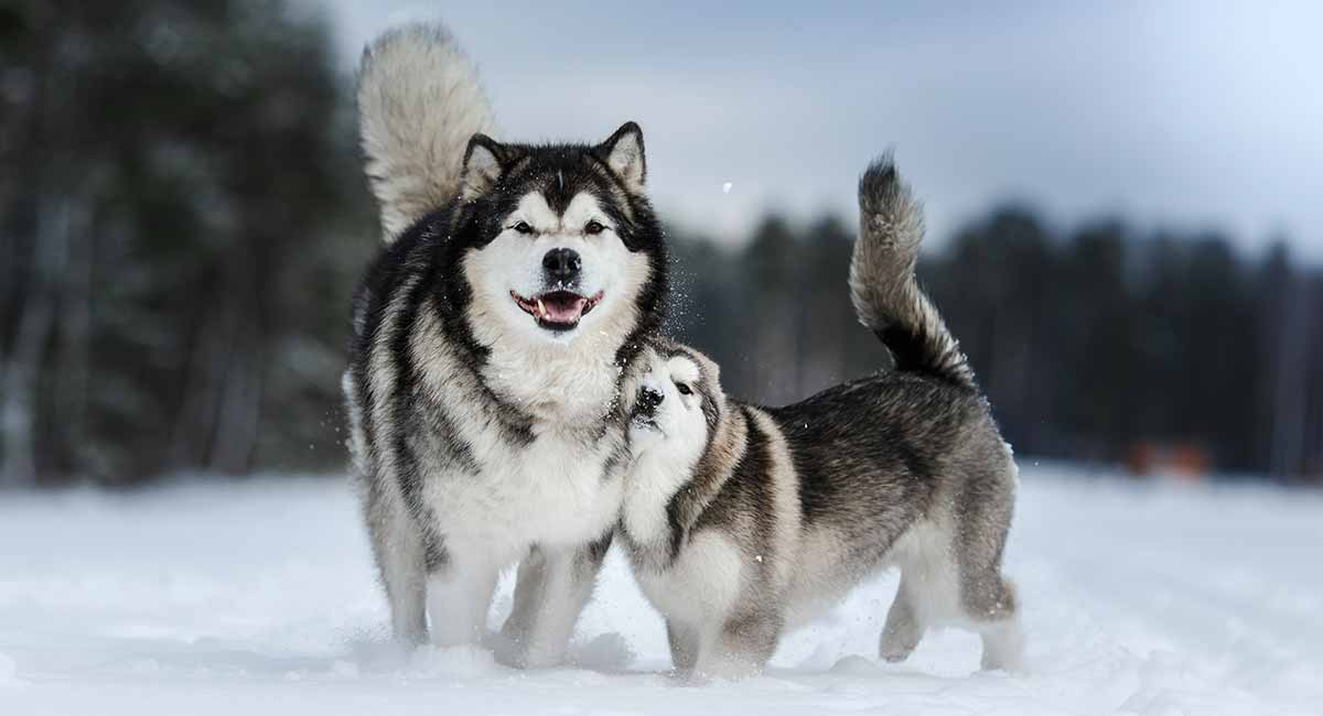 Alaskan Dog Names – Over 200 Ideas for Naming Your Pooch!