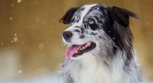 Blue Merle Australian Shepherd: The Facts Behind the Fur