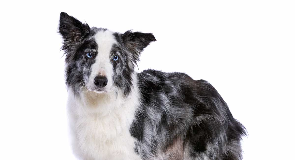 Blue Merle Border Collie Colors Patterns And Health