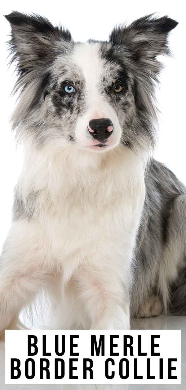 Blue Merle Border Collie Colors, Patterns and Health