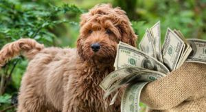 Cockapoo Price – How Much to Expect to Pay for Your Puppy?