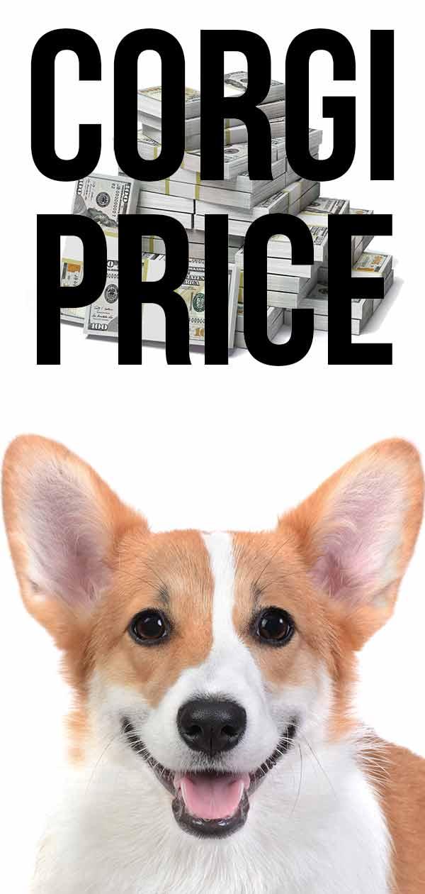 corgi price