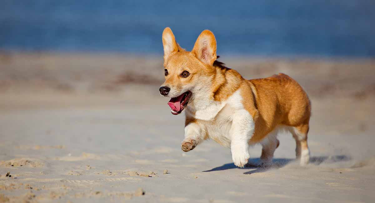 Corgi Temperament