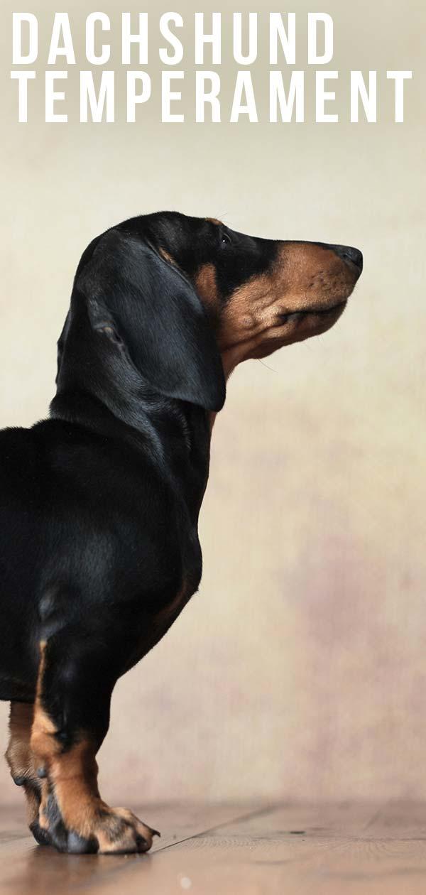 dachshund temperament