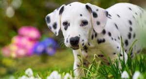 Dalmatian Names