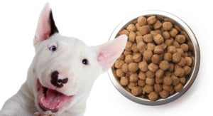 Feeding A Bull Terrier Puppy – Routines, Schedules and Quantities