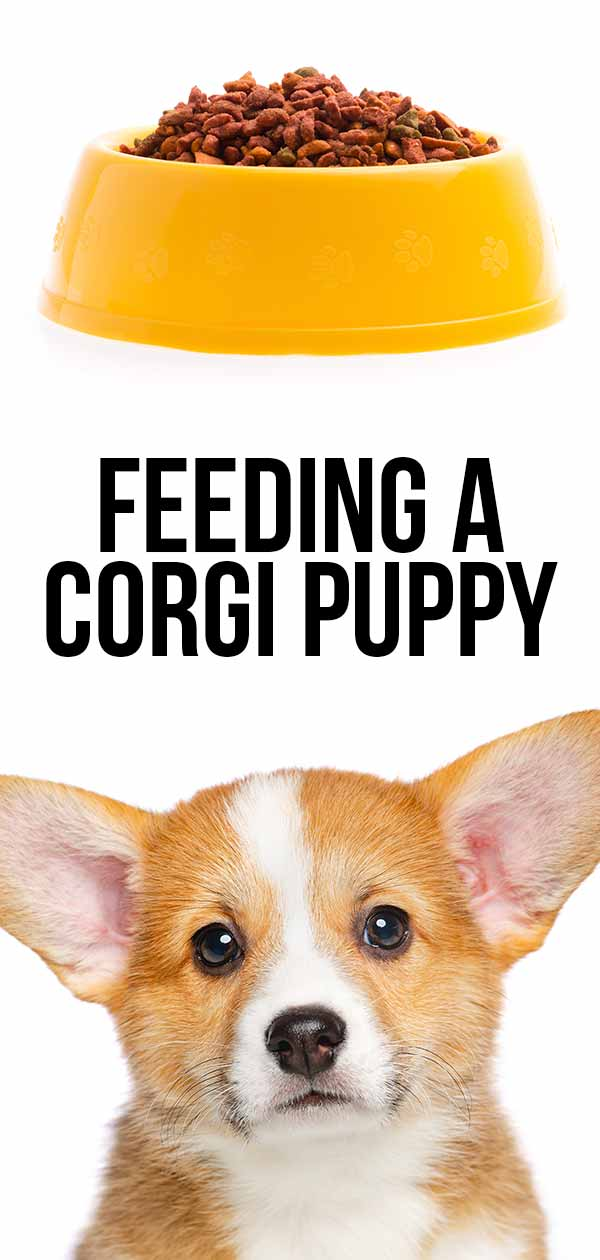 feeding a corgi puppy