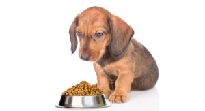 Feeding a Dachshund Puppy – Making the Right Choices