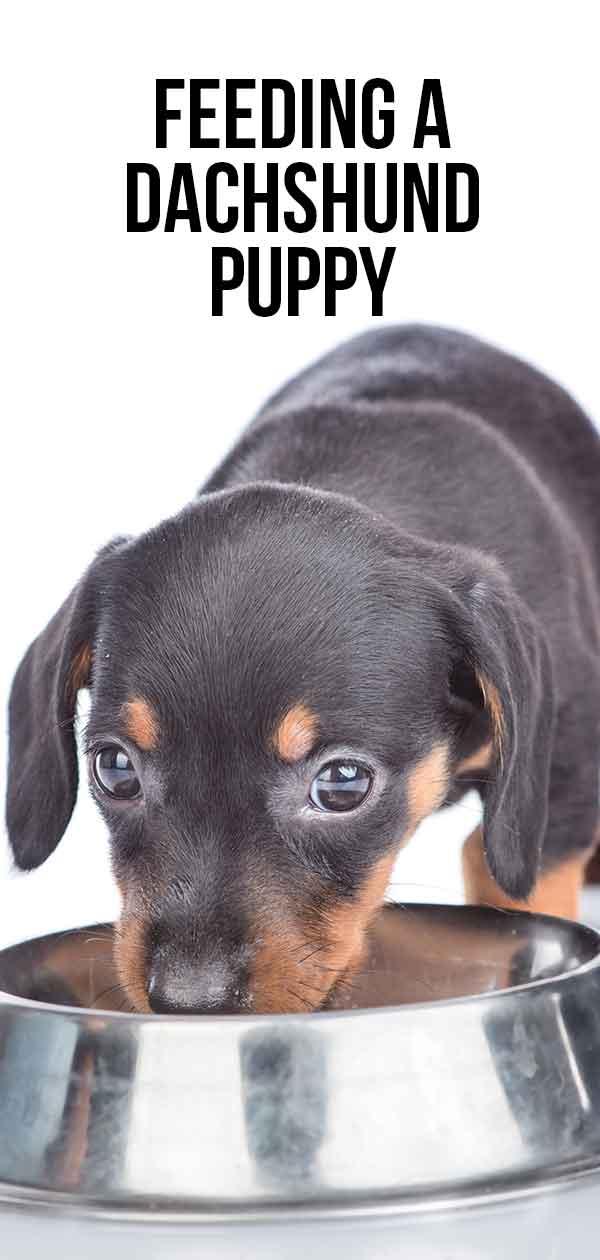 feeding a dachshund puppy